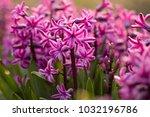 pink hyacinth  hyacinthus  | Shutterstock . vector #1032196786