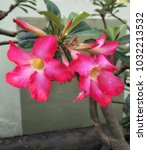Small photo of Vivid and Vibrant Pink Binomial or Impala Lily, Desert Rose blooming on the tree. Beautiful colorful flower and natural tree.