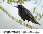 Small photo of Crow on Branch of American Holly Tree