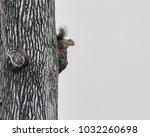 Eastern Fox Squirrel Perched On ...