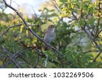 common nightingale or simply... | Shutterstock . vector #1032269506
