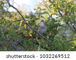common nightingale or simply... | Shutterstock . vector #1032269512