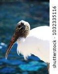 close up of a wood stork ...   Shutterstock . vector #1032335116