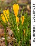 crocus  plural crocuses or...   Shutterstock . vector #1032354355