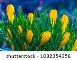 crocus  plural crocuses or...   Shutterstock . vector #1032354358