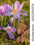 crocus  plural crocuses or... | Shutterstock . vector #1032354376
