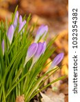crocus  plural crocuses or... | Shutterstock . vector #1032354382