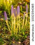 crocus  plural crocuses or...   Shutterstock . vector #1032354385