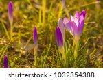 crocus  plural crocuses or...   Shutterstock . vector #1032354388