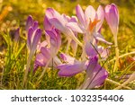crocus  plural crocuses or... | Shutterstock . vector #1032354406