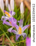 crocus  plural crocuses or... | Shutterstock . vector #1032354412