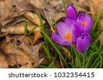 crocus  plural crocuses or...   Shutterstock . vector #1032354415