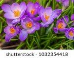 crocus  plural crocuses or...   Shutterstock . vector #1032354418