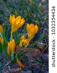 crocus  plural crocuses or... | Shutterstock . vector #1032354436