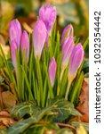 crocus  plural crocuses or...   Shutterstock . vector #1032354442