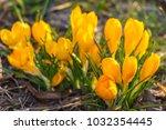 crocus  plural crocuses or...   Shutterstock . vector #1032354445
