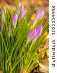 crocus  plural crocuses or...   Shutterstock . vector #1032354448