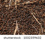 red ant rufa | Shutterstock . vector #1032359632