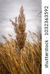 seed head of a common reed | Shutterstock . vector #1032363592