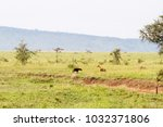 the spotted hyena  crocuta... | Shutterstock . vector #1032371806
