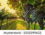 grape harvest italy | Shutterstock . vector #1032390622