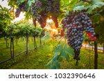 grape harvest italy   Shutterstock . vector #1032390646
