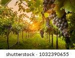 grape harvest italy   Shutterstock . vector #1032390655