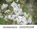 white apple flowers. beautiful... | Shutterstock . vector #1032392248