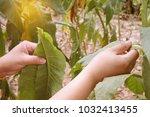 tobacco farmers collect tobacco ...   Shutterstock . vector #1032413455