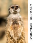 alert meerkat   suricata...   Shutterstock . vector #1032455875