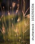 dew on grass flower in the... | Shutterstock . vector #1032503206