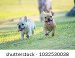 cute french bulldog puppy in... | Shutterstock . vector #1032530038