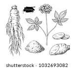 ginseng vector drawing. medical ... | Shutterstock .eps vector #1032693082
