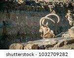 male nubian ibex in mitzpe... | Shutterstock . vector #1032709282