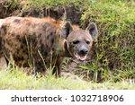 hyena in the african savanna | Shutterstock . vector #1032718906