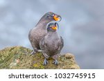 crested auklet  aethia... | Shutterstock . vector #1032745915