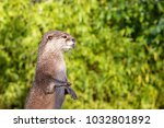 oriental small clawed otter... | Shutterstock . vector #1032801892