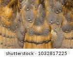 Barn Owl Wings With Beautiful...