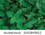 tip view green mint plant in... | Shutterstock . vector #1032845812