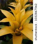 Small photo of Aechmea fasciata , big flower