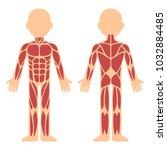 stylized muscle anatomy chart ... | Shutterstock . vector #1032884485
