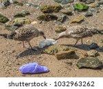 Birds eating plastic bag