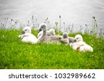 swans offspring resting in the...   Shutterstock . vector #1032989662
