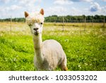 Portrait Of A Cute Alpaca In...
