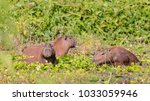 capybara  largest rodent in its ...   Shutterstock . vector #1033059946