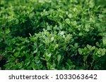 clover field close up | Shutterstock . vector #1033063642