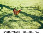 chicken on the lawn | Shutterstock . vector #1033063762