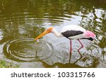 A Yellow Billed Stork Hunting...