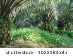 beautiful plant inside oil palm ...   Shutterstock . vector #1033183585