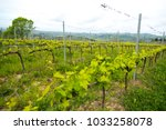 tuscan vineyard farm with... | Shutterstock . vector #1033258078